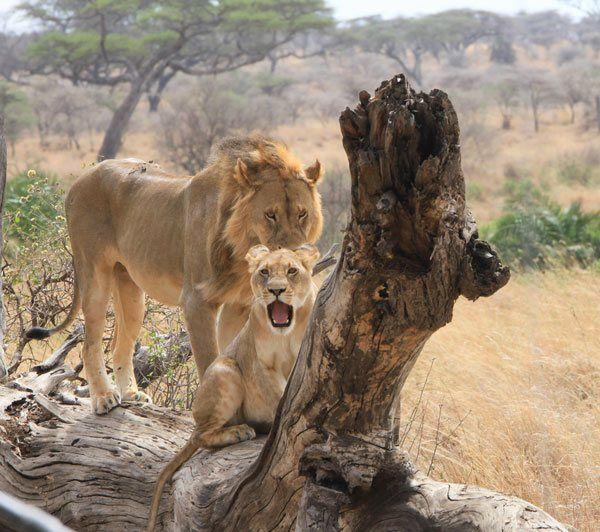 Como es un safari en africa