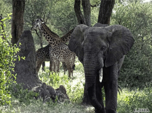 Elefante Y Jirafa