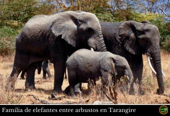 Elefantes Tarangire