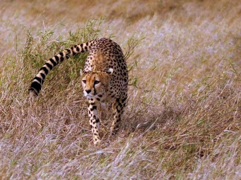 Guepardo Serengeti
