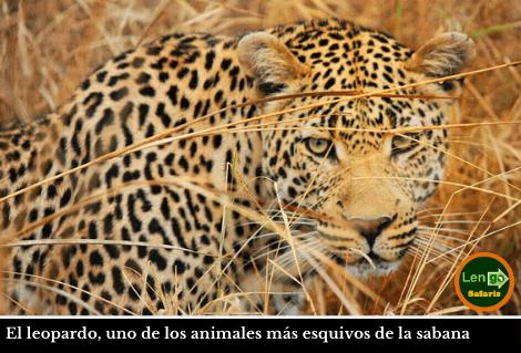Leopardo Masai Mara
