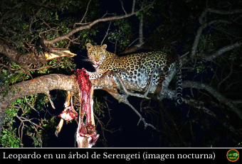 Leopardo Noche