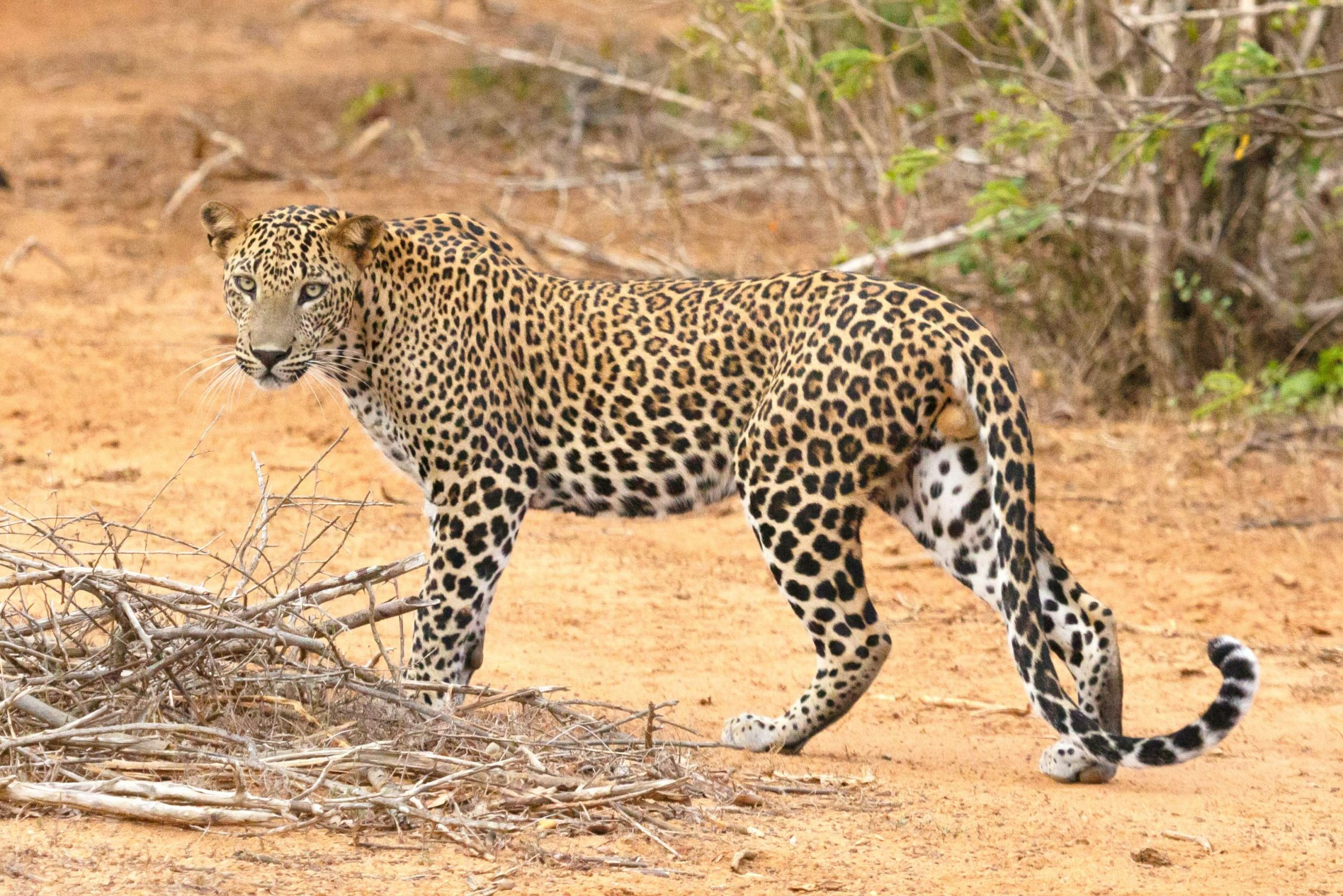 Leopardo Safari