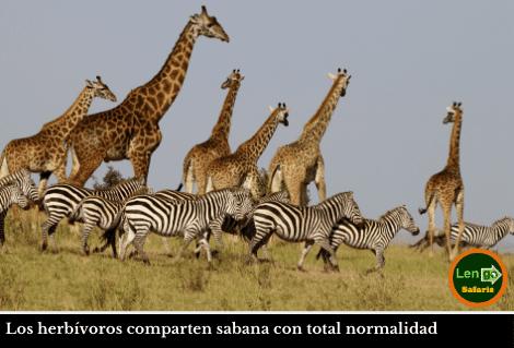Masai Mara Jirafas Cebras