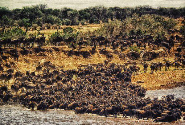 Gran migracion en ek río Mara