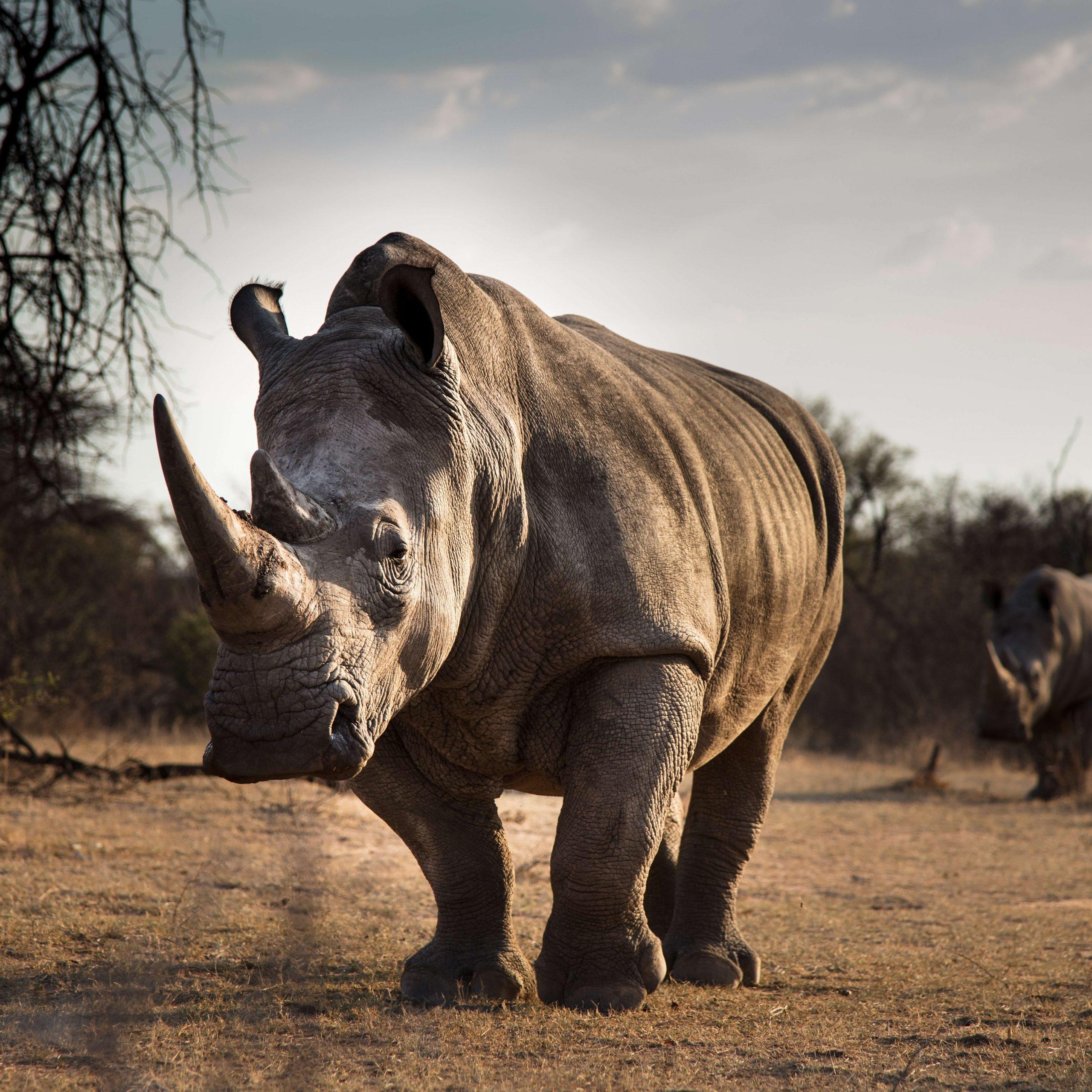 Rinoceronte Safari